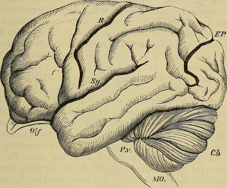 line drawing of a brain from mid 1800s