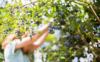 woman picking blueberries by hand